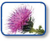 organic cotton thistle
